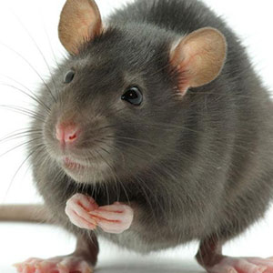 Pest Control For Rodents In Burgh Heath