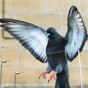On Time Pest Control provides discreet Bird Wire & Post solutions to stop Pigeons and other bird pests from roosting on and damaging your property.