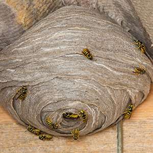 On Time Pest Control offers 24 hour Wasp Nest Removal Services for houses and business premises throughout West London, South West London, Twickenham and Kingston